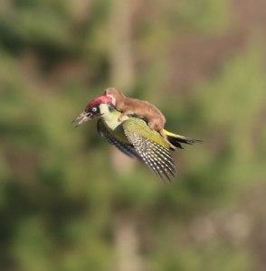 weasel eating kingfisher