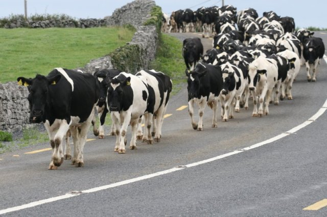 Cows Walking